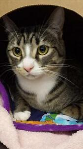 "Young Female Cat - Domestic Short Hair: ""Beeper"""