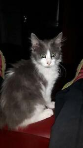 "Baby Male Cat - Domestic Medium Hair: ""MAGNUS"""