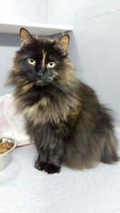 "Adult Female Cat - Domestic Long Hair: ""Shana"""