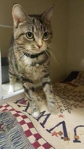 "Adult Female Cat - Domestic Short Hair-Tabby: ""Peaches"""