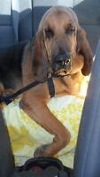 """Adult Male Dog - Bloodhound: """"Henry"""""""