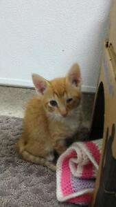 "Baby Male Cat - Domestic Short Hair: ""Captain *adoption Pending"""