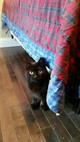 "Adult Female Cat - Domestic Short Hair-black: ""Tilley and Luna"""