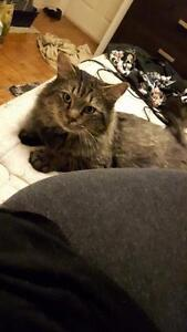 """Adult Male Cat - Domestic Long Hair: """"Fluffy"""" West Island Greater Montréal image 3"""