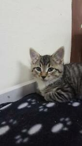 "Baby Female Cat - Domestic Short Hair-Tabby: ""Alley"""