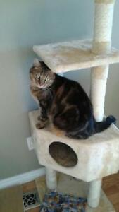 "Adult Male Cat - Tabby (Brown): ""Caramel"""