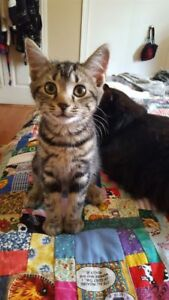 "Baby Female Cat - Domestic Short Hair-Tabby: ""Trinity"""