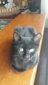 "Baby Female Cat - Domestic Short Hair (Black): ""Wombat"""