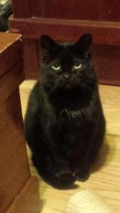 Female Cat - Domestic Medium Hair-Domestic Medium Hair-black