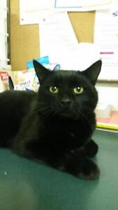 "Adult Male Cat - Domestic Short Hair-black: ""yoshi"""