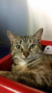 "Adult Female Cat - Domestic Short Hair-Tabby: ""Camille"""