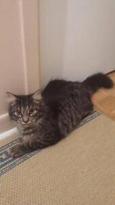 Young Female  - Domestic Long Hair-black-Tabby - black West Island Greater Montréal image 2