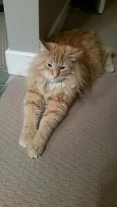 "Adult Male Cat - Domestic Medium Hair-Tabby (Orange): ""Harley"""