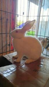 "Young Female Rabbit - New Zealand: ""* Fluffy - URGENT"" Cambridge Kitchener Area image 1"