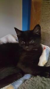 "Baby Female Cat - Domestic Short Hair: ""Coco"""