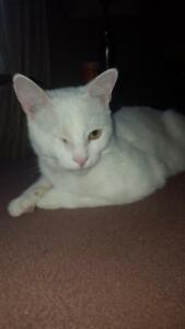 "Young Male Cat - Domestic Short Hair: ""Petey"""
