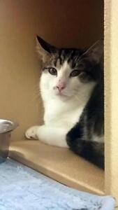 """Young Male Cat - Domestic Short Hair-Tabby: """"Lassiter"""""""