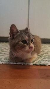 "Adult Female Cat - Domestic Short Hair: ""Sweet Pea"""