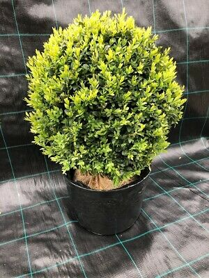 Box / Buxus Ball 40cm - Potted Box, Buxus Balls from Producer