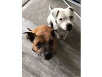 X2 STAFFIES FOR REHOMING