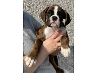2 Boxer puppies Male.