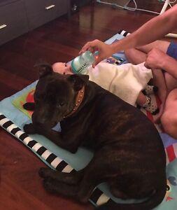 STOLEN - 11 month old Staffy - FAIRFIELD QLD Fairfield Brisbane South West Preview