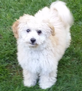 Maltipoo pup female  ( 4 months )