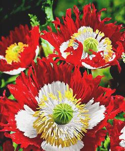 6000-semillas-de-Adormidera-Danes-Rojo-y-Blanco-Bandera-del-Dinamarca