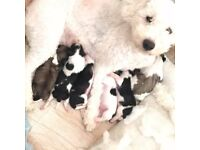 Teddy bear puppies. Shih tzu x bichon frise