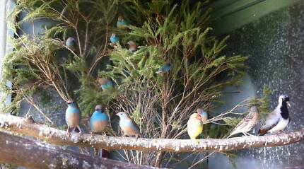 Birds for sale Kungala Clarence Valley Preview