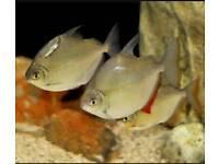Healthy Silver Dollar Fish