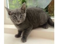 Russian Blue Grey Kitten - 2 Male and 1 Female READY FOR NEW HOME SOON