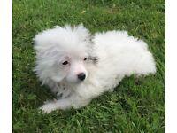 Stunning tiny chihuahua x jack Russell pups