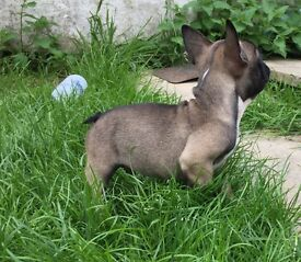 French bulldog pup blue tan carriers