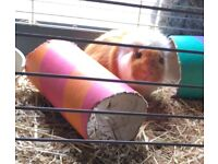 2 beautiful male Guinea pigs 1 and half years old