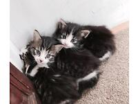 Lovely kittens looking for loving forever home.