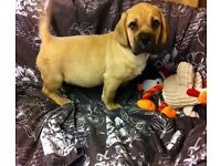 Adorable puggle boy for sale