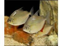 Healthy Silver Dollar fish - tropical