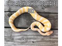 Cb16 albino poss het pied male royal pythons