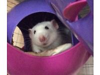 10 Month Old Male Rat Needs an Experienced Owner.