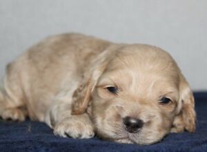 Adorable Cockapoo puppies Available
