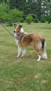 "Young Female Dog - Collie: ""Madison"""