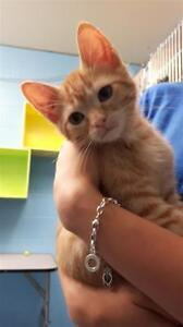 "Baby Male Cat - Domestic Short Hair: ""Roger"""