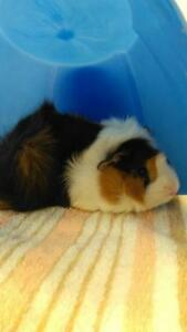 "Young Male Small & Furry - Guinea Pig: ""Robin"""