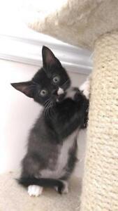 "Baby Male Cat - Domestic Short Hair: ""Jason"""
