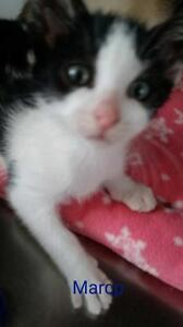 """Young Male Cat - Domestic Short Hair: """"Marco"""""""