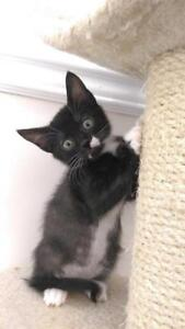 Baby Male  - Domestic Short Hair