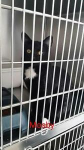 "Adult Male Cat - Domestic Short Hair: ""Mosby"""