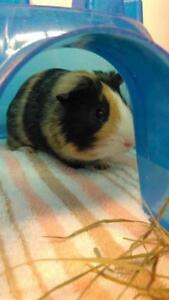 "Young Male Small & Furry - Guinea Pig: ""Batman"""