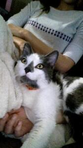 "Adult Male Cat - Domestic Short Hair - gray and white: ""Kamil"""